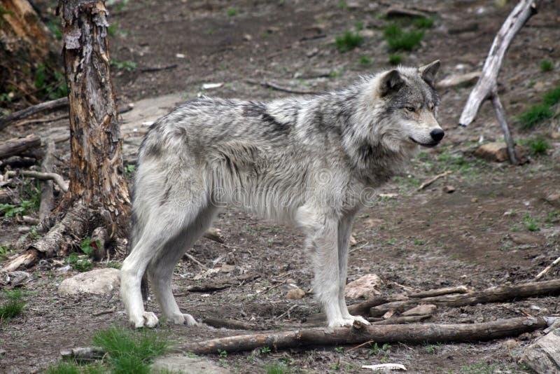 wolf 5 arkivbilder