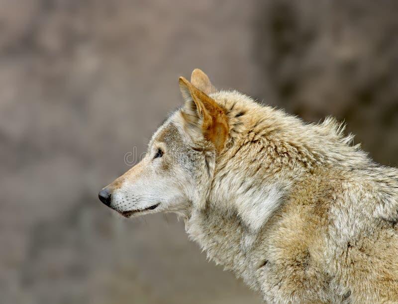 Wolf. stockfoto