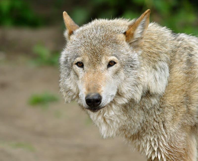 Wolf. stock photo