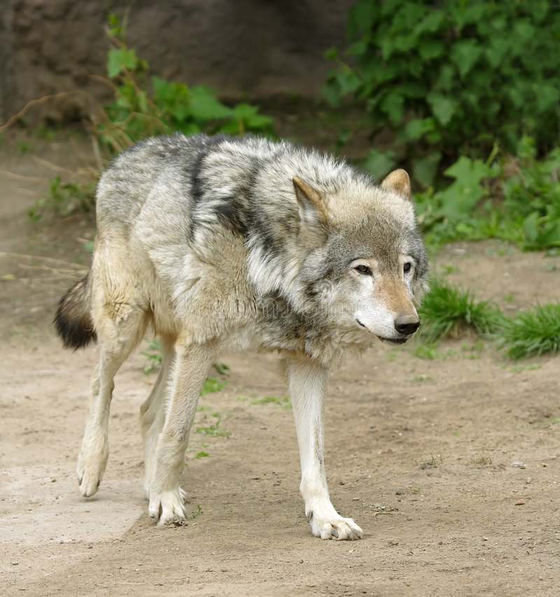 Wolf. Russian nature, wilderness world stock image