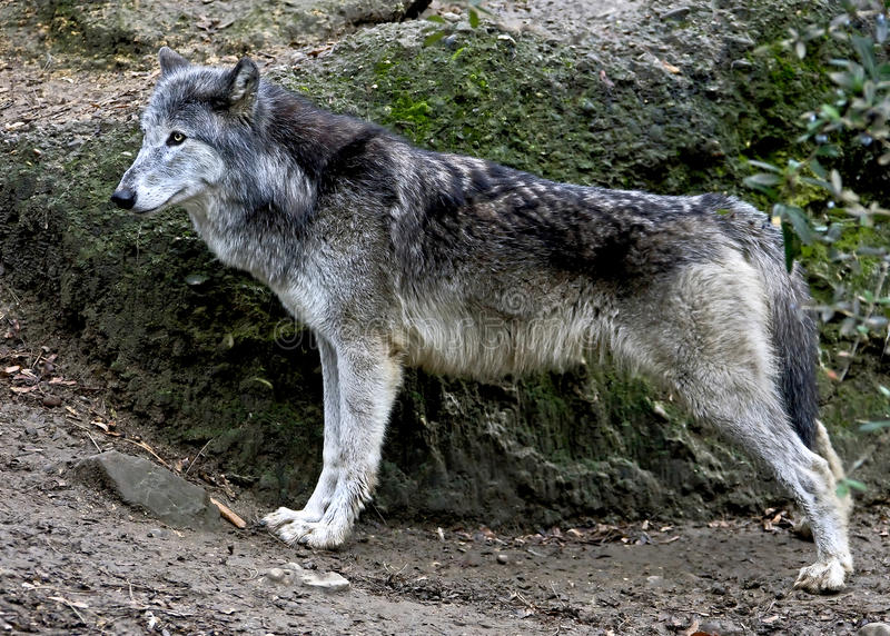Wolf 7. Grey wolf. Latin name - Canis lupus royalty free stock photo