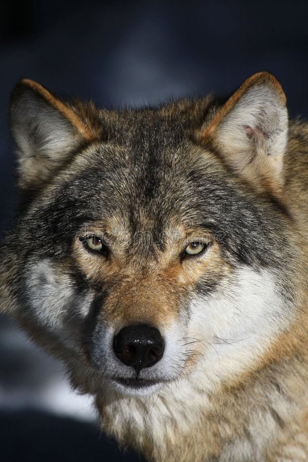 Wolf lizenzfreie stockfotos