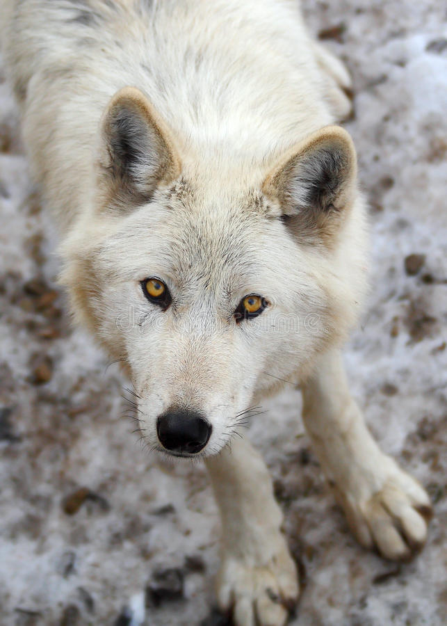 Download Wolf stock image. Image of eyes, canada, timber, lupus - 9492791
