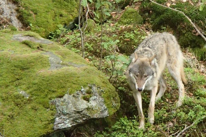 Wolf2 zdjęcia royalty free
