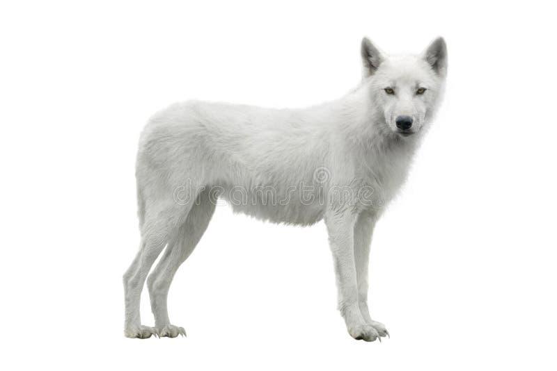 Wolf royalty-vrije stock afbeelding
