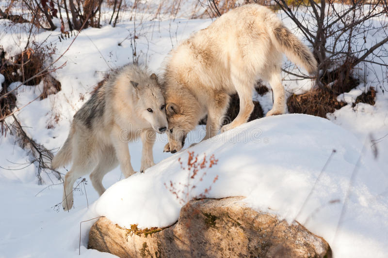 Wolf Affection. Two wolves of timber and arctic mixture show affection to each other as they play on a snow covered rock stock photography