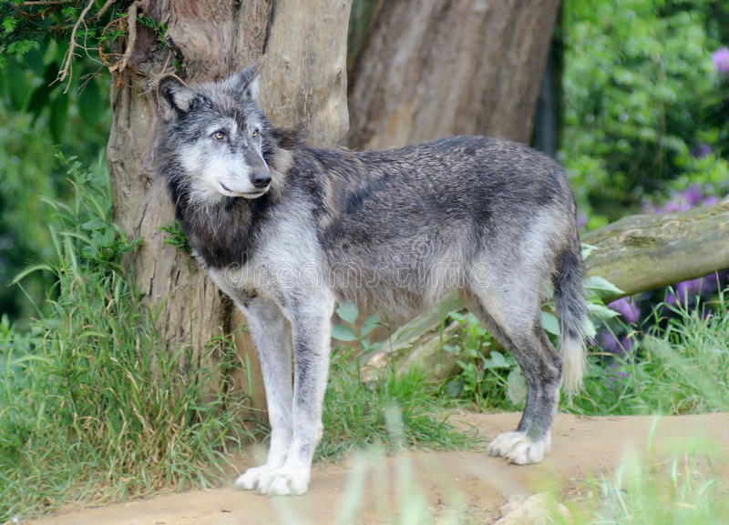 Wolf Alone fotografia de stock royalty free