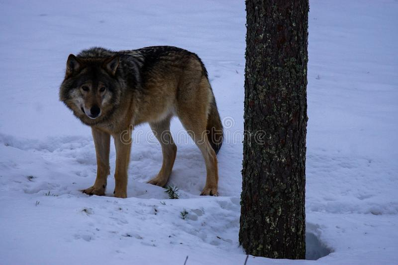 Wolf in winter Lapland, Finland royalty free stock photography