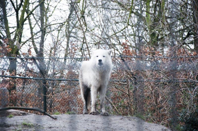 Wolf in Amsterdam lizenzfreie stockfotos