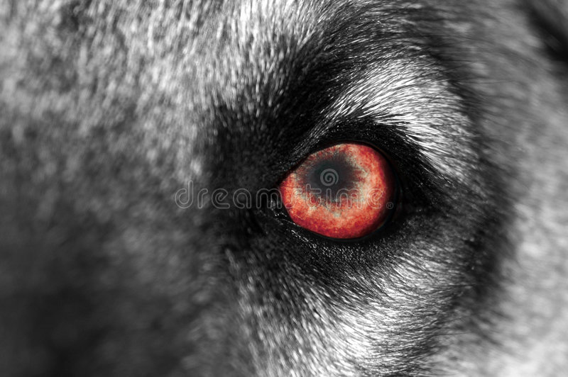 Wolf-Auge - Rot lizenzfreie stockfotografie