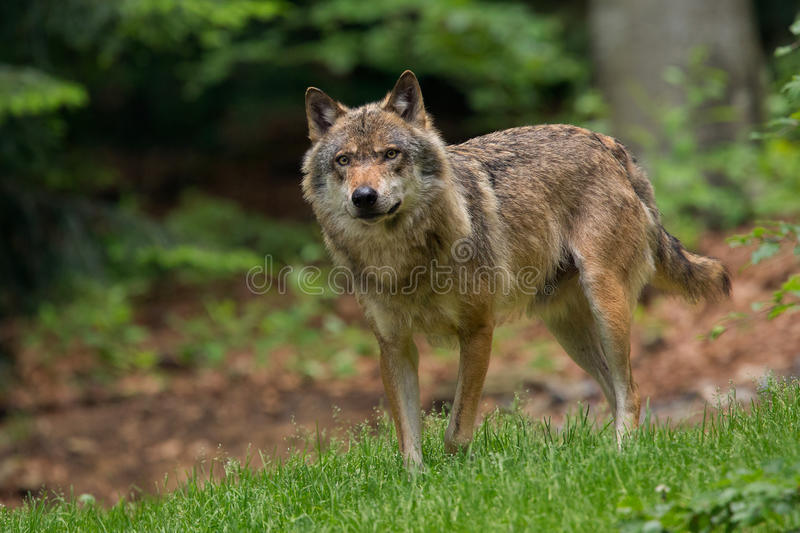 Download Wolf stock photo. Image of leader, hair, angry, brown - 32803838