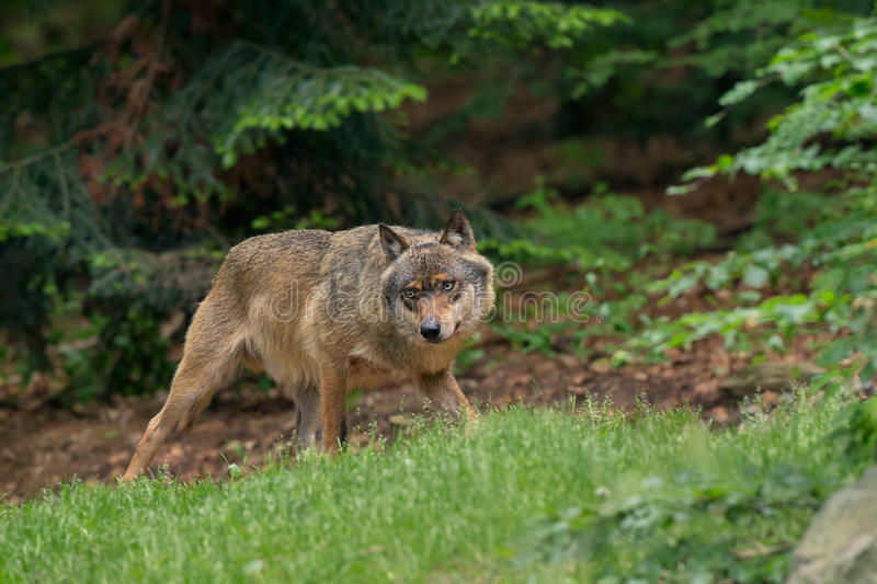 Download Wolf Royalty Free Stock Photography - Image: 32140787