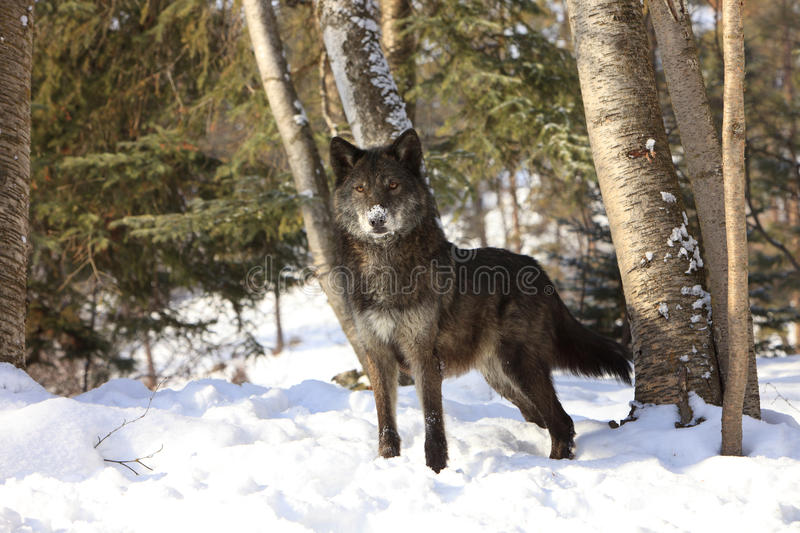 Wolf Beautiful Eyes noir photographie stock libre de droits