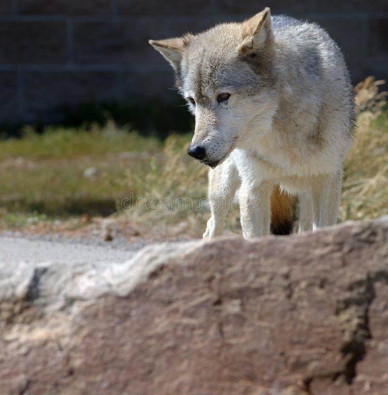 Download Wolf Behind Rock stock image. Image of wild, animal, grey - 269047