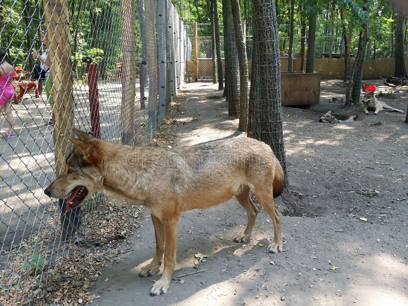 Wolf in cage, Veresegyhaz, Hungary. Wolf inside fenced cage at farm near Veresegyhaz, Hungary on sunny day stock images