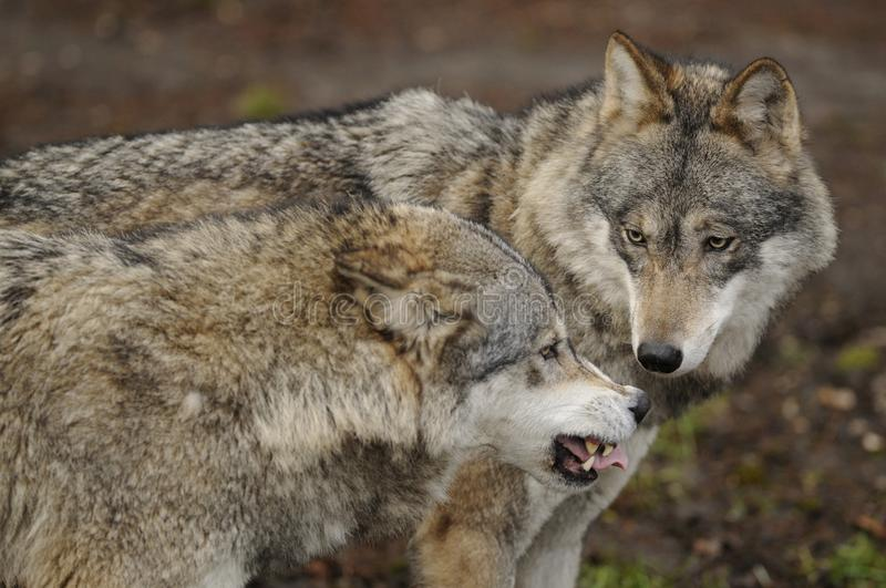 Wolf ( Canis lupus ) royalty free stock photos