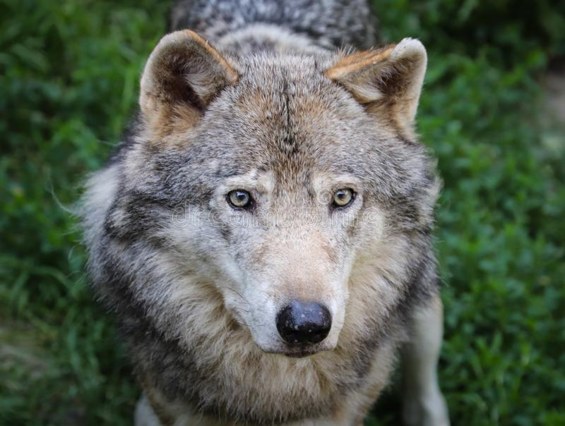 The beautiful eyes of a grey Wolf stock images