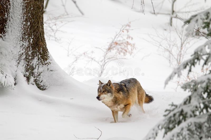 Wolf Canis lupus. In the snow in the animal enclosure in the Bavarian Forest National Park, Bavaria, Germany stock photos