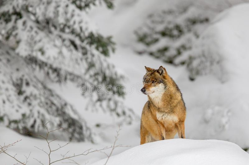Wolf Canis lupus. In the snow in the animal enclosure in the Bavarian Forest National Park, Bavaria, Germany stock photography