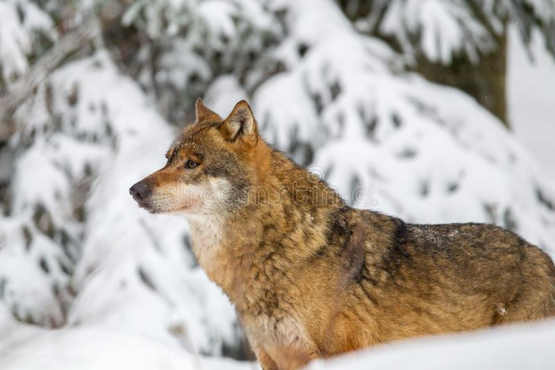 Wolf Canis lupus. In the snow in the animal enclosure in the Bavarian Forest National Park, Bavaria, Germany royalty free stock images