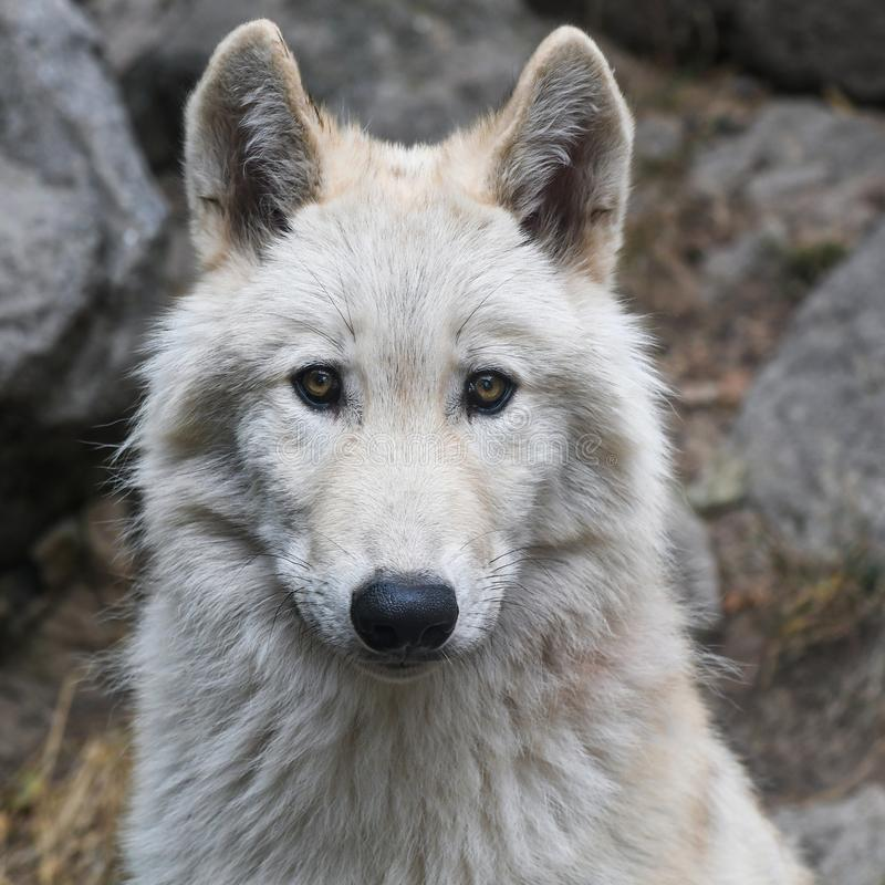 Wolf, Canis Lupus Tundrarum, Säugetier, Saarloos Wolfdog