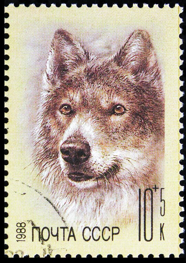 Wolf (Canis lupus), ZOO Relief Fund serie, circa 1988 royaltyfria foton