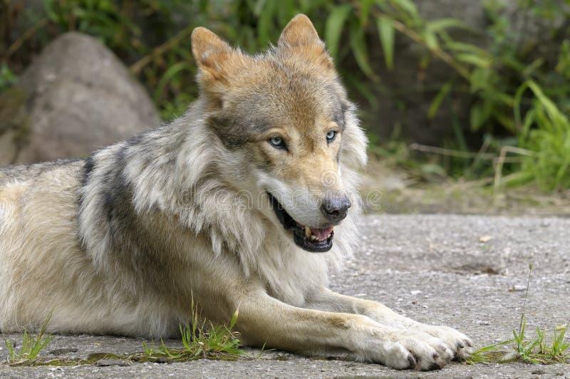 Wolf, caniswolfszweer stock afbeeldingen