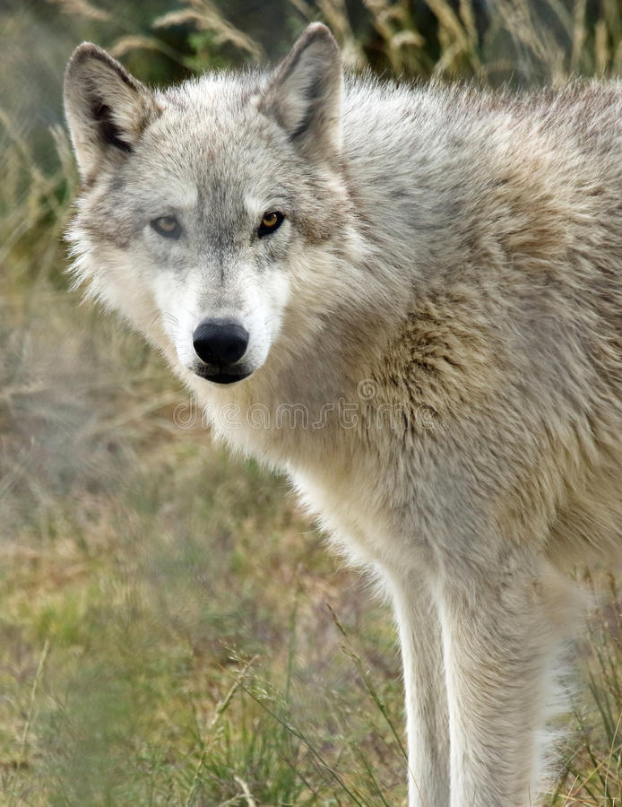 Wolf. Close Up Detail Portrait Of American Timber Wolf royalty free stock image