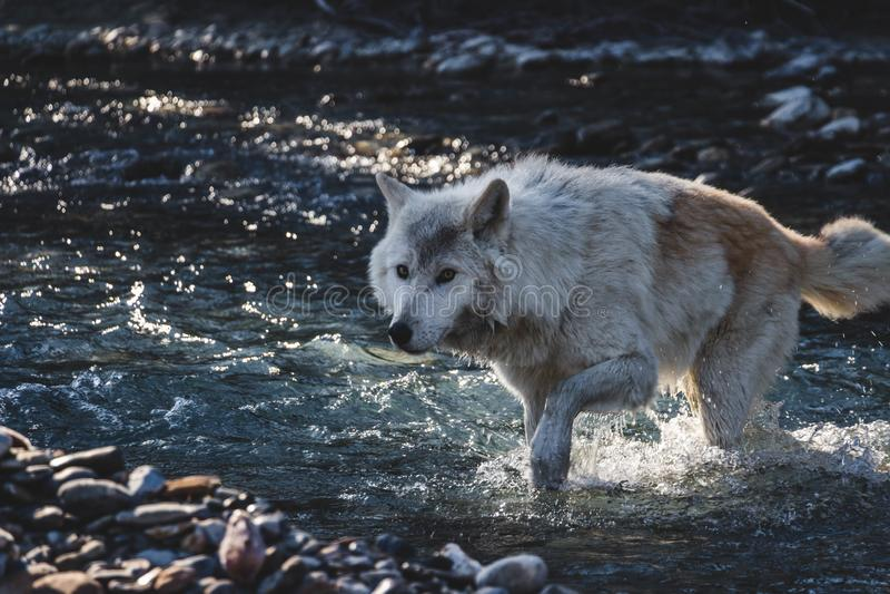 Wolf Crossing The Creek imagem de stock