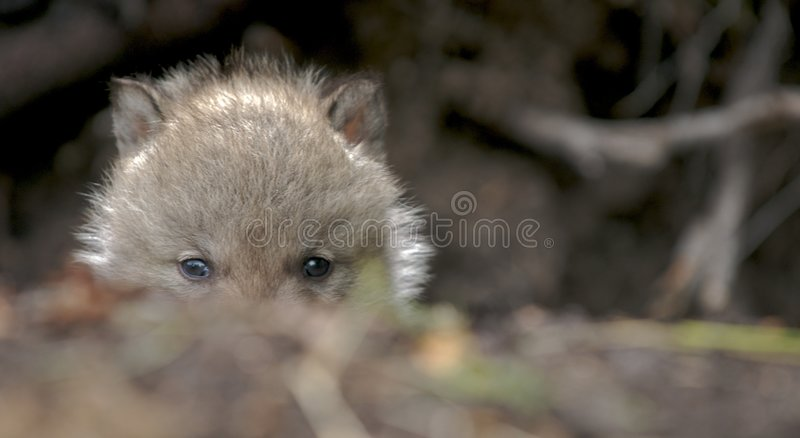 Download Wolf cub stock photo. Image of animal, grey, wolf, hiding - 2318596