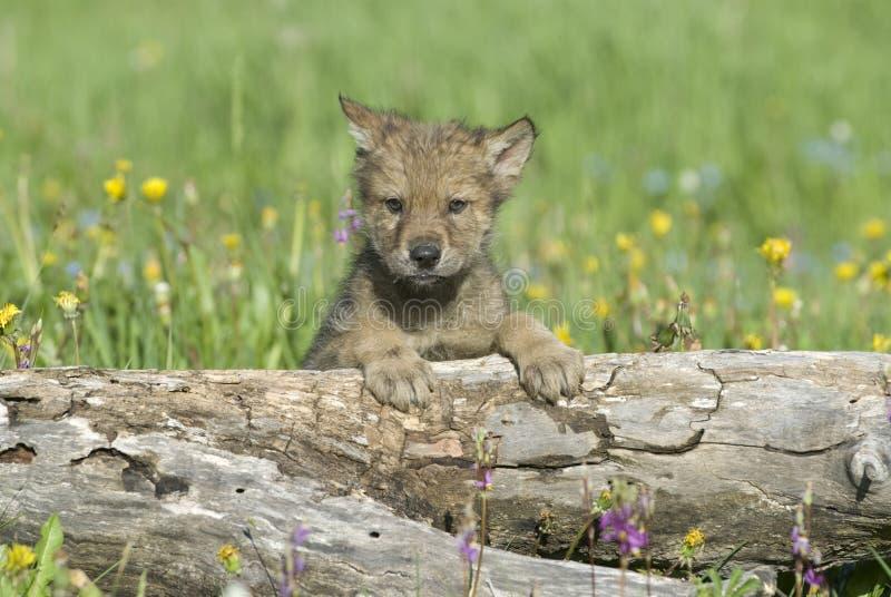 Wolf cub stock image
