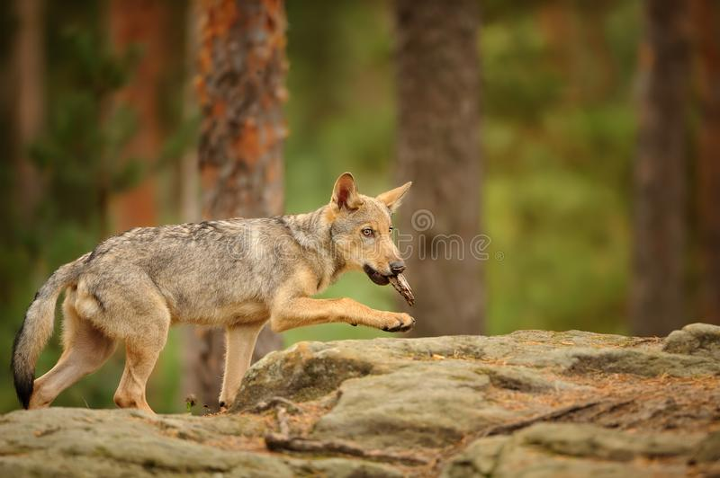 Wolf cub with bark in his mouth stock images