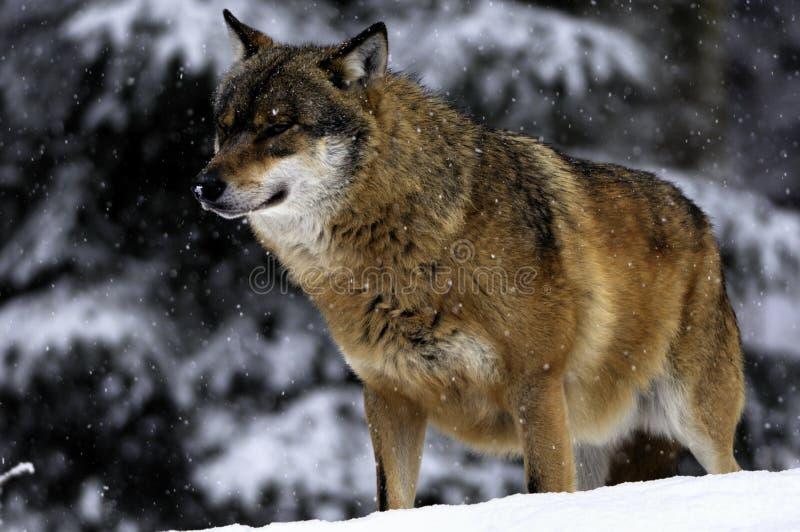 Wolf in de winter stock fotografie