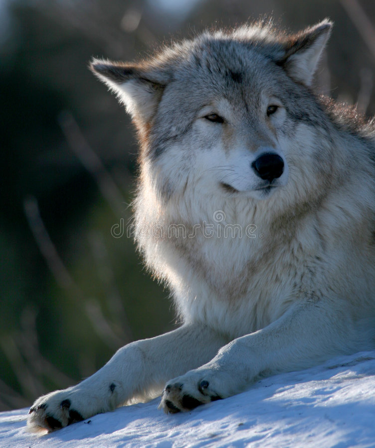 Wolf in de winter royalty-vrije stock foto's