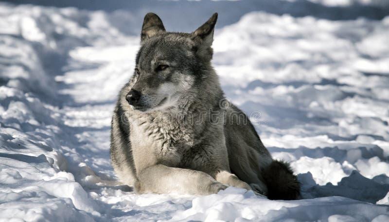 Wolf, der auf dem Schnee im Wald liegt stockfotos