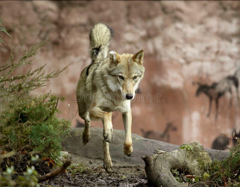 Wolf die in het bos springen stock afbeeldingen