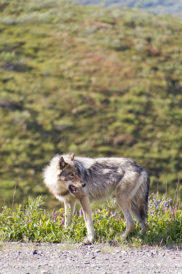 Wolf die prooi met open mond bekijkt royalty-vrije stock foto