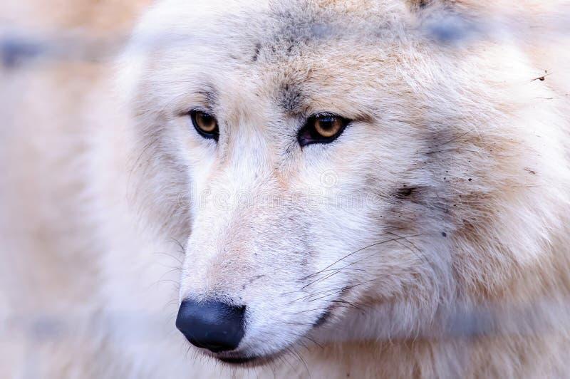 Wolf in DIERENTUIN in Wenen royalty-vrije stock afbeeldingen