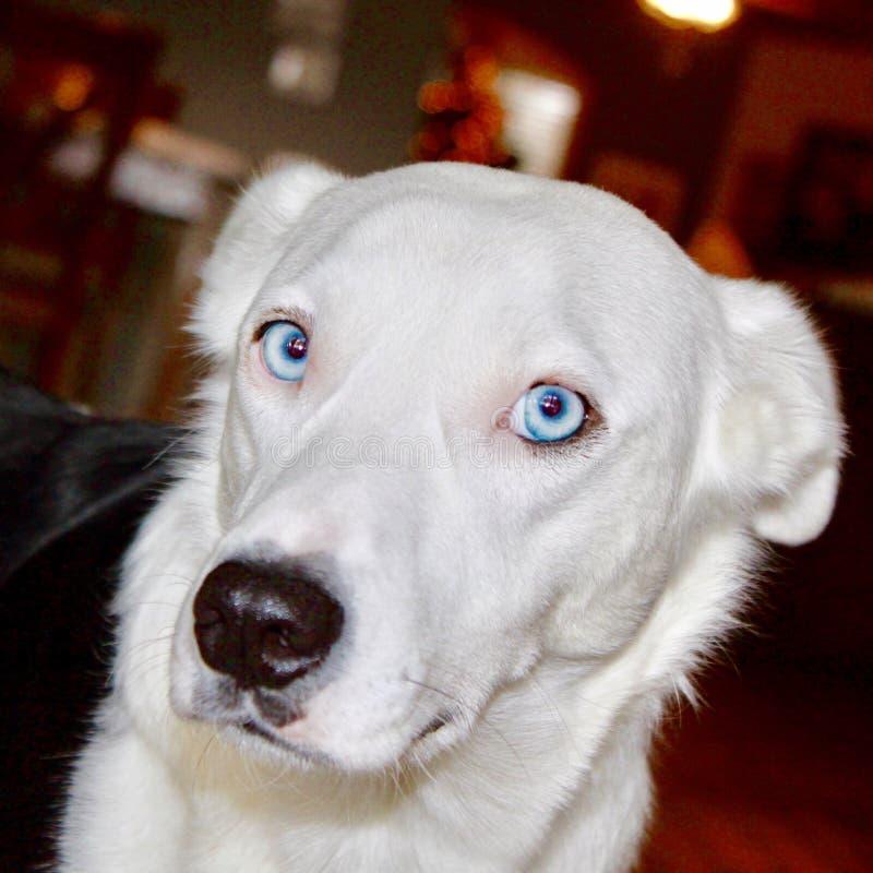 Wolf Dog blanco con los ojos azules fotografía de archivo
