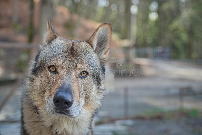 Wolf dog head portrait eyes with an intense gaze. Adomesticated grey wolf head portarit looking straight to camera with an curiosity and cute gaze, beautiful stock photography