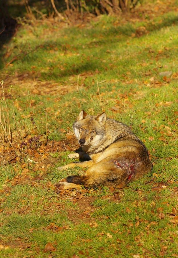 Wolf door zijn pak wordt uitgesloten dat royalty-vrije stock foto's