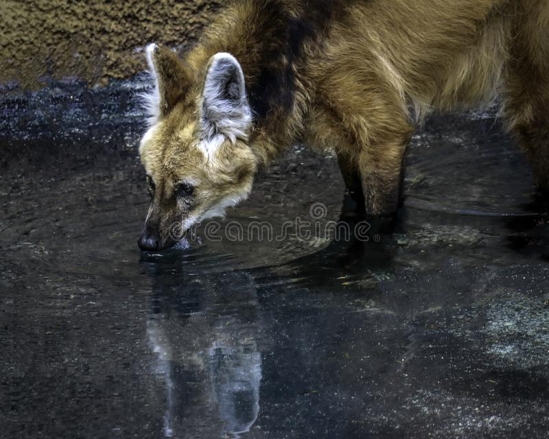Wolf Drinking Maned images libres de droits