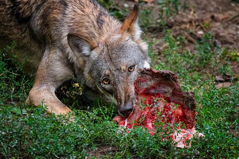 Wolf eating stock photo