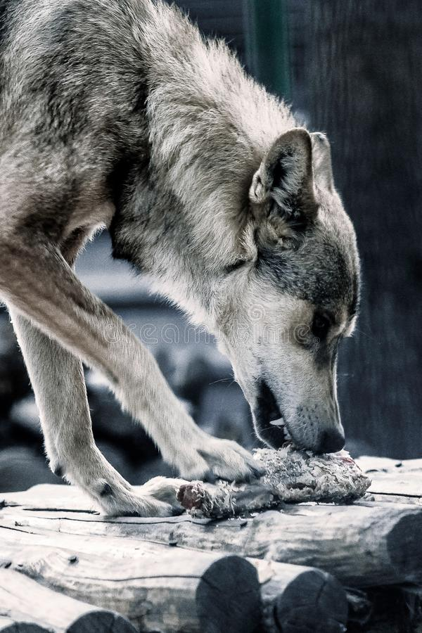The wolf eats his prey royalty free stock photography