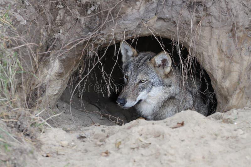 Wolf in einem Bau stockfoto