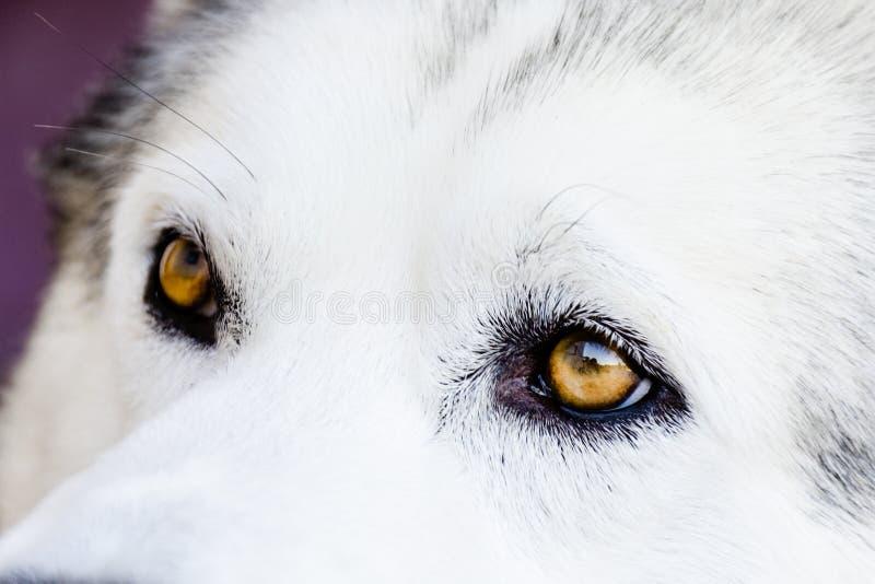 Wolf Eyes fotos de stock