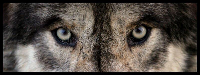 Wolf Eyes imagem de stock