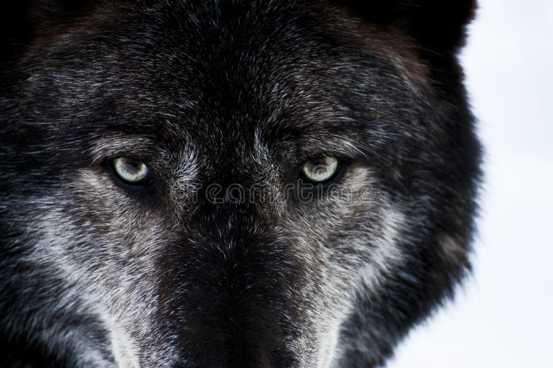 Download Wolf Eyes stock image. Image of hunt, wild, eyes, predator - 22658119