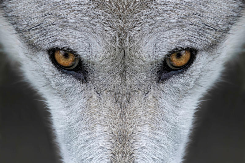 Wolf eyes. Closeup of the eyes of a wolf in Yellowstone National Park, Wyoming