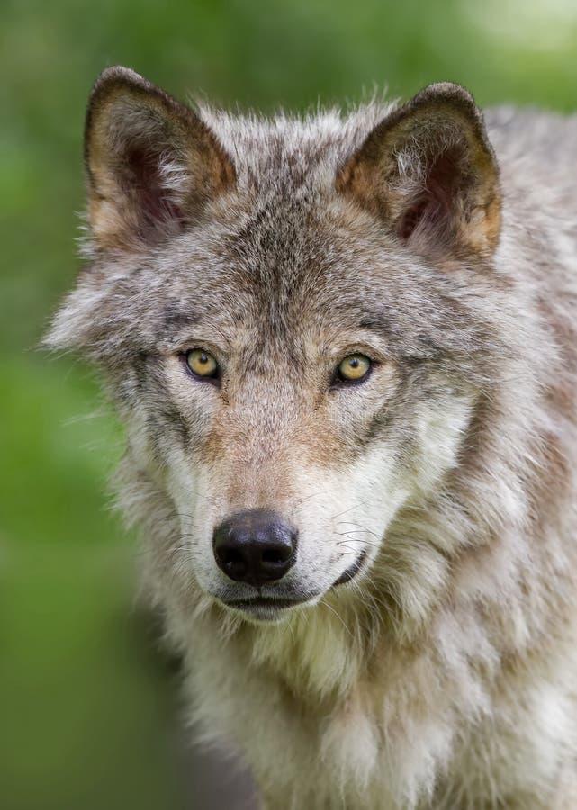 wolf för badlandsdakota nord fotograferad timmer arkivbild